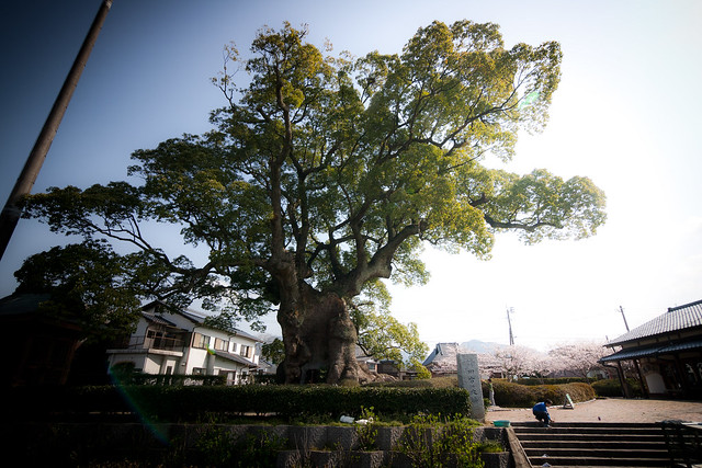 Ω3: The Giant Camphor of Kawago