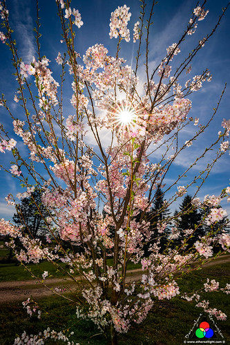 Cherry blossom dream by Douglas Remington - Ethereal Light® Photography