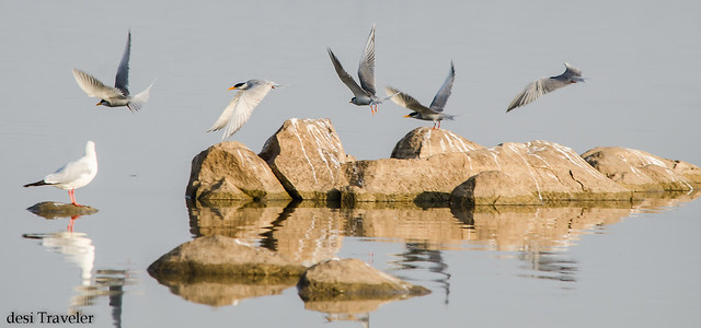 River Terns flying on rocks in lake gandipet osman sagar