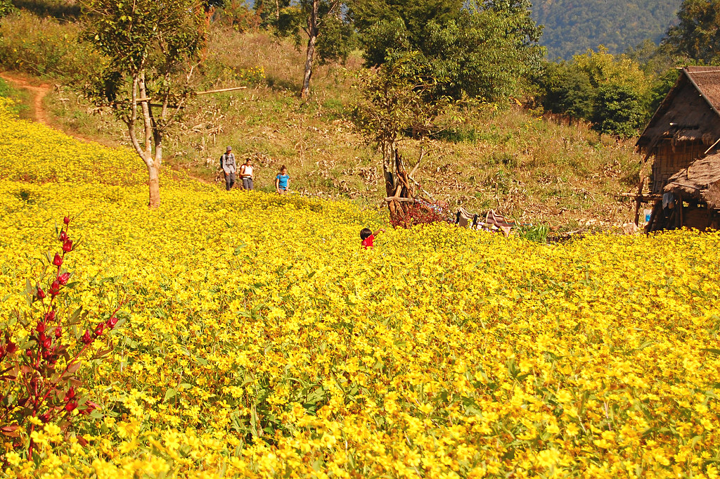 Sunflowers, Hsipaw, Burma