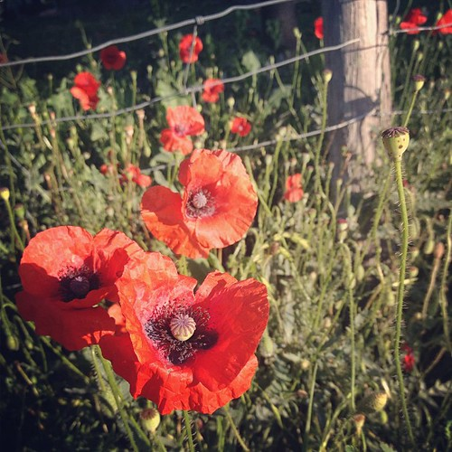 #red #poppies #happy #Friday ♥