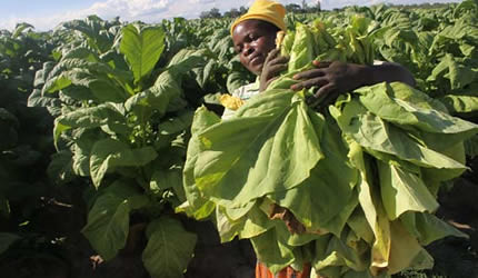 Zimbabwe tobacco farmers harvesting their crops in 2013. The white-dominated Commercial Farmers Union has realized that the MDC-T will not be able to form a government inside the country. by Pan-African News Wire File Photos