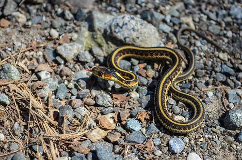 <p><i>Thamnophis sirtalis</i>, Colubridae<br /> Colony Farm Regional Park, Coquitlam, British Columbia, Canada<br /> Nikon D5100, 18-55 mm f/3.5-5.6<br /> April 1, 2013</p>
