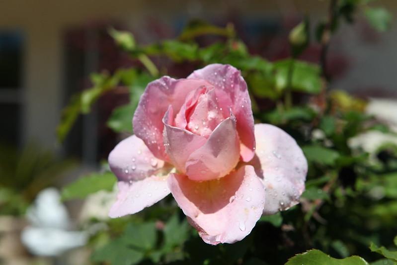 rose_107