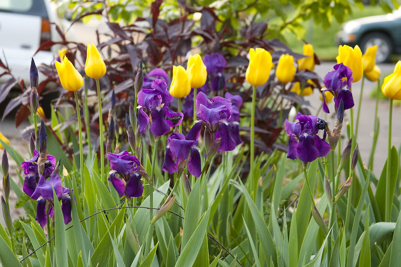 purple iris and yellow tulip