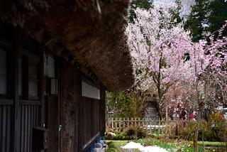 桜と雪@白川郷。