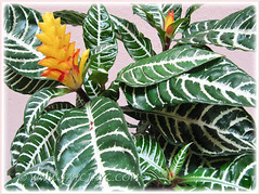 Aphelandra squarrosa (Zebra Plant) with fabulous yellow flowering spikes and variegated leaves
