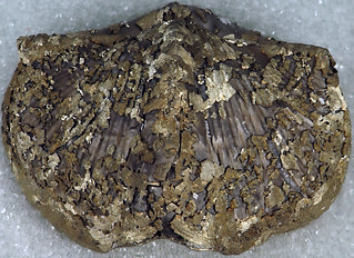 Pyritized Paraspirifer bownockeri, Silica Fm, Middle Devonian, Lucas Co, Ohio, USA