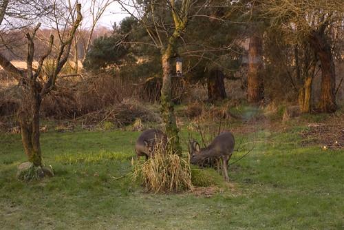Roe Deer 3