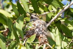 Nesting Hummingbird / Mrs. Red Neck