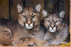 [Free Images] Animals (Mammals), Mammals (Others), Cougars / Pumas, Animals - Parent and Child ID:201302161000