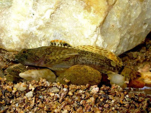 Image of Blue Ridge Sculpin