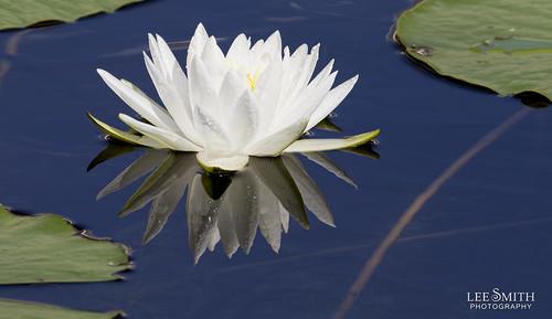 8480455796 296d973c9d Water Lilies