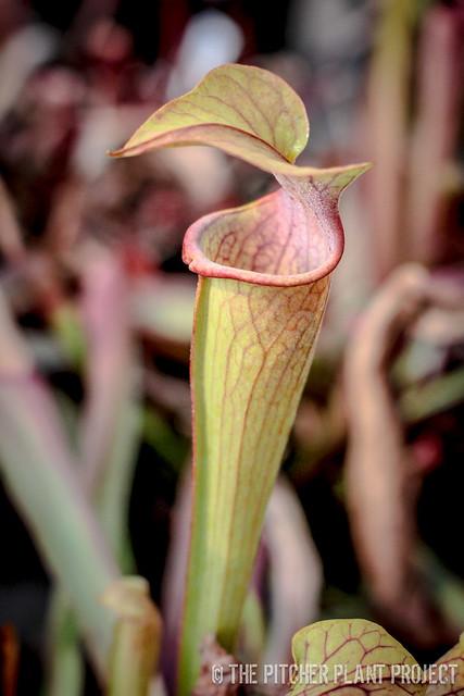 Sarracenia 'Godzuki' x ((rubra x oreophila) x flava v. rugelii)