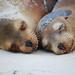 Galapagos Sea Lions, Gardner Bay, Española