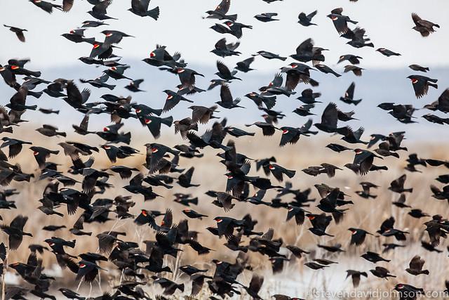 Blackbirds in flight, Klamath Basin National Wildlife Refuge
