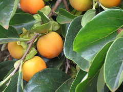 evergreen, calamondin, common persimmon, fruit,