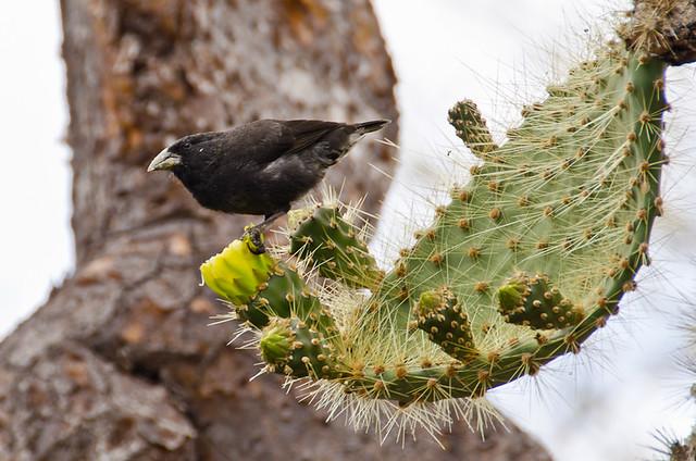 Galapagos Birds: Darwin's Finches