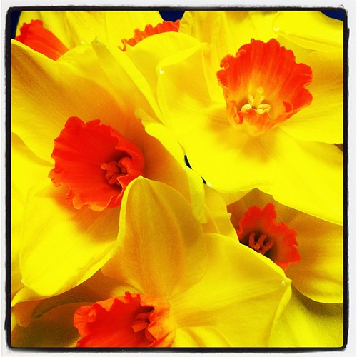 We have the most beautiful daffodils in our office!