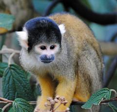 Black-capped Squirrel Monkey, London Zoo