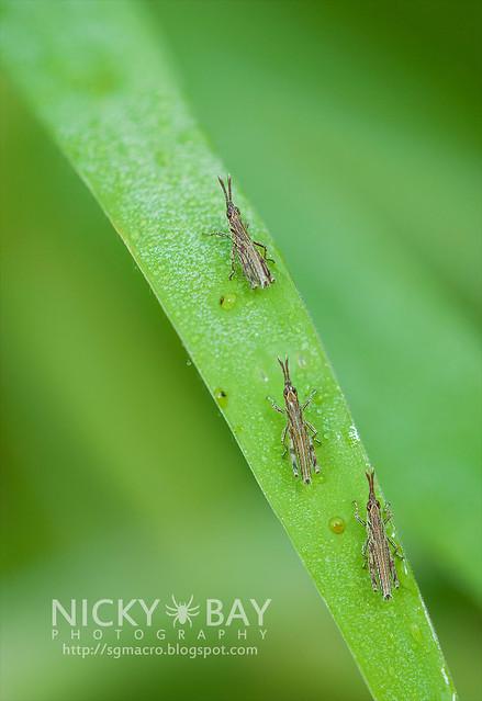 Grasshoppers (Caelifera) - DSC_6066