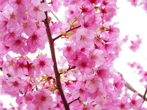 Sakura bloom in Tokyo 09