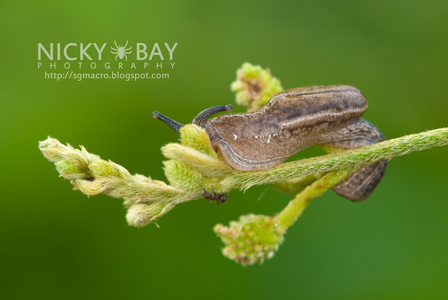 Slug (Gastropoda) - DSC_6011