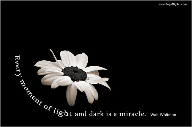 Walt Whitman, Light and Dark, Quote, Flower, Daisy, Monochrome
