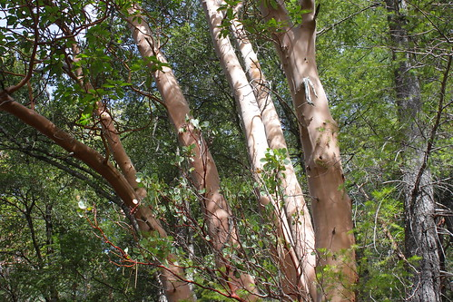 Madrone trunks