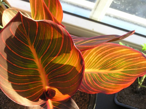 Evening flame/Canna 'Durban'