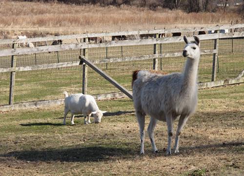 Goat and Llama