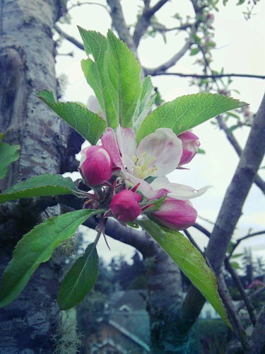 apple blossom by Amelia Joseph