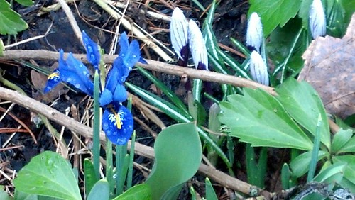 iris & crocus