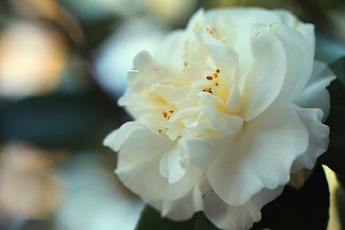 White Camellia 2
