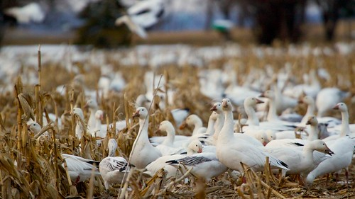 newyork field geese spring corn farm flock waterloo migration snowgeese