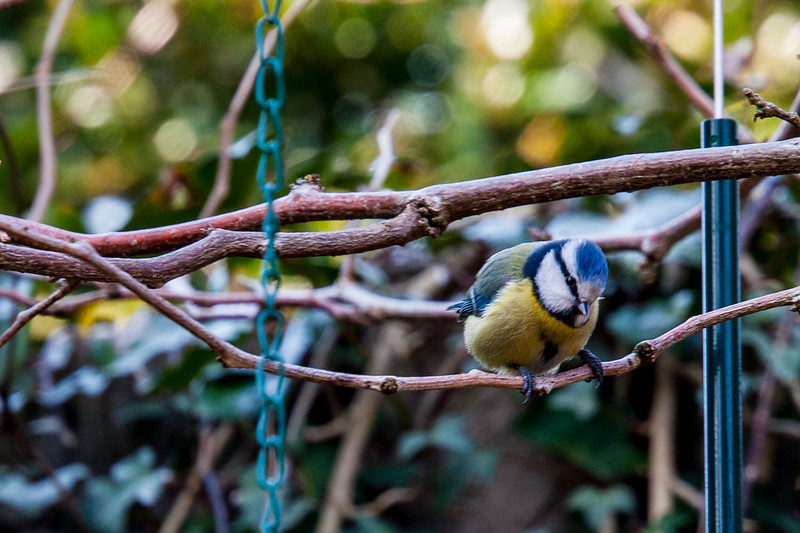Gardening companions - Blue Tit