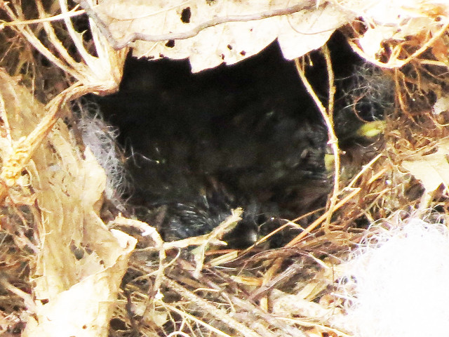 Carolina Wren chicks in nest