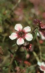 Tea Tree blossom A 3-13-13