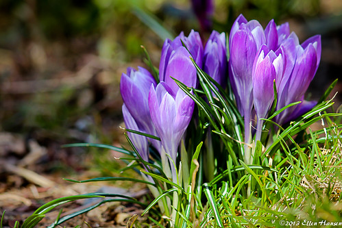 crocus in bloom, westport, MA by Genny164