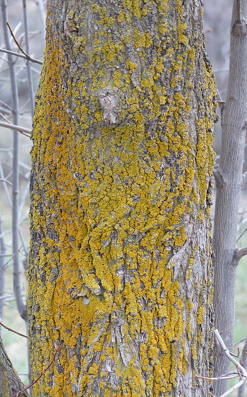 cottonwood_and_fungus