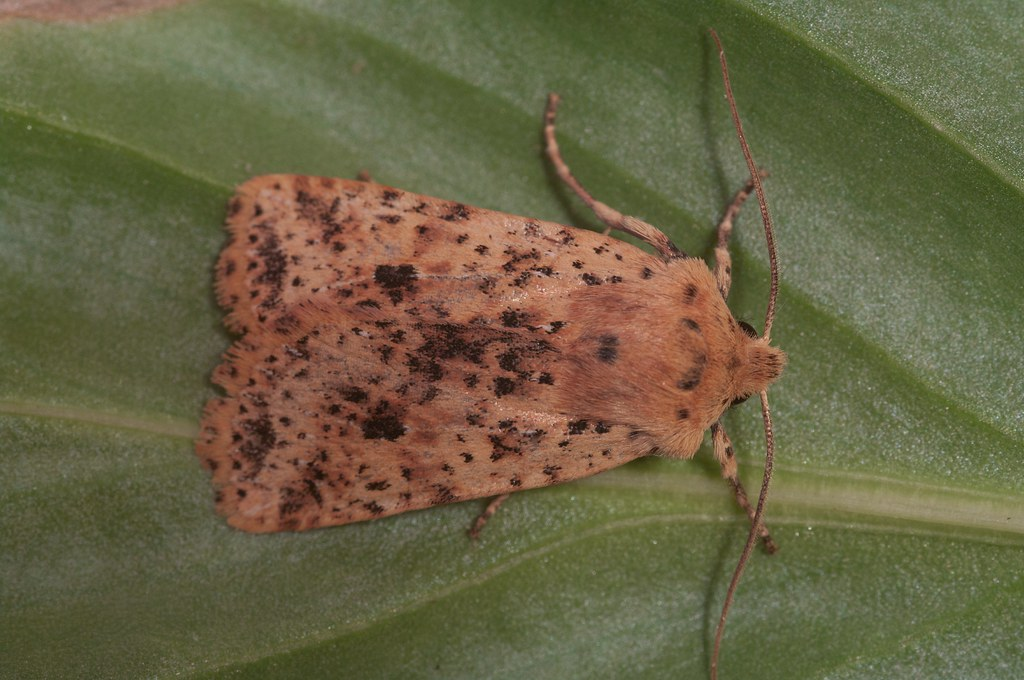 Dotted Chestnut