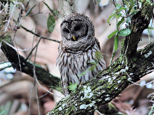 Barred Owl 4-20130414