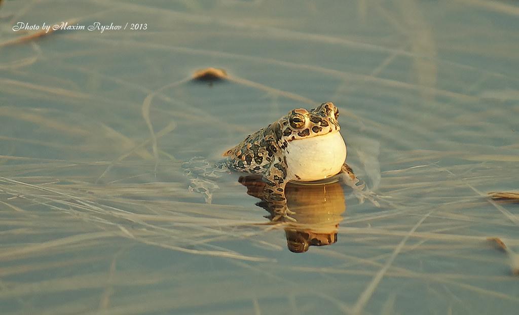 Зеленая жаба Pseudepidalea viridis