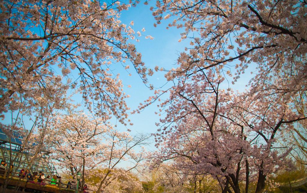 Cherry Blossom @ Children's Grand Park 1