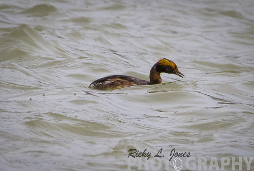 Horned Grebe by Ricky L. Jones Photography