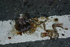 墾丁陸蟹路殺(road kill)。照片來源:墾丁國家公園管理處