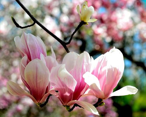 Magnolia Way - April 21, 2013