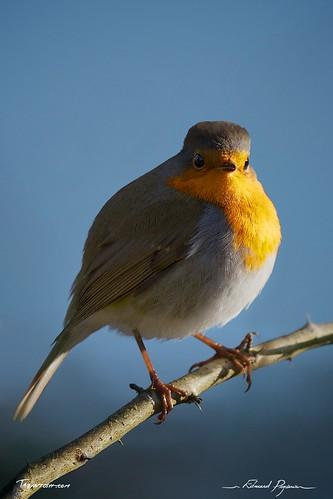 Rouge-gorge / Erithacus rubecula - European Robin / Orange breast