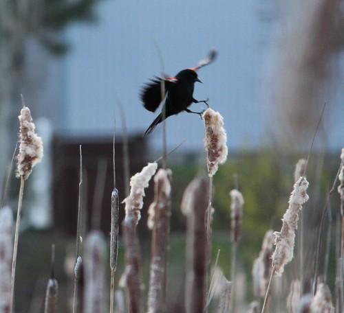 redwingblackbird02