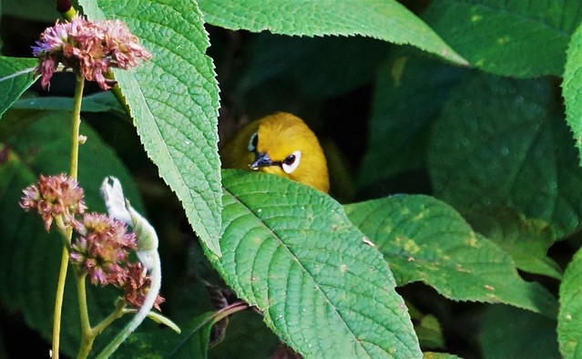 Header of African Yellow White-Eye